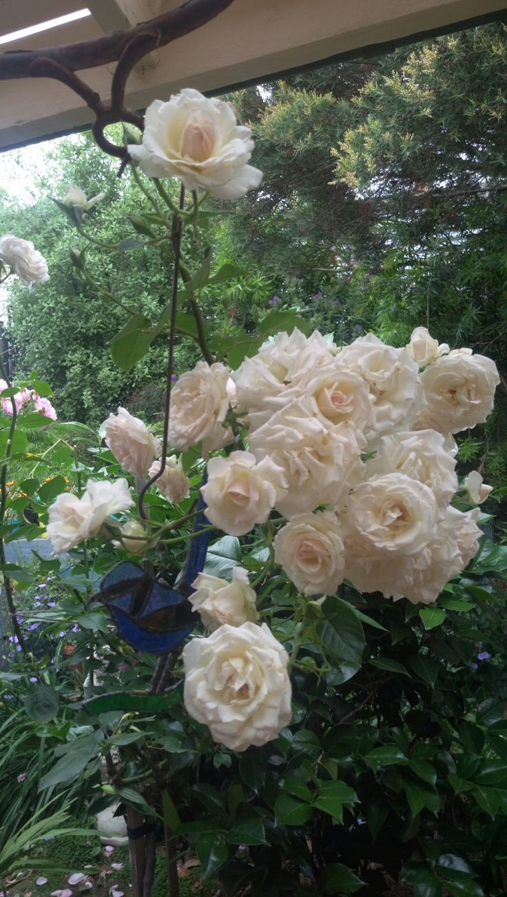 Rose 'Mother's Love'