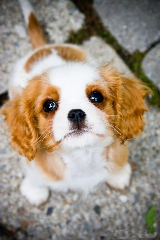 Cute Cavalier King Charles spaniel puppy | Cute puppy and dog