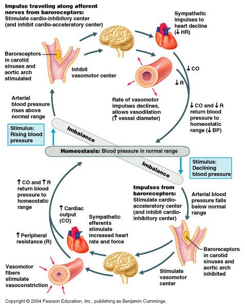 The Cardiovascular System Blood Pressure Regulation