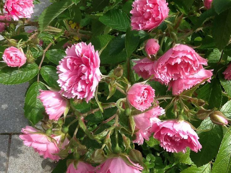 Neilikkaruusu vaaleanpunainen