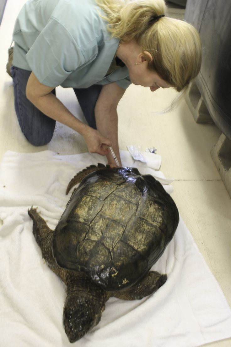 Dr. Sue Carstairs collecting bloodwork from a turtle at Kawartha Turtle Trauma Centre