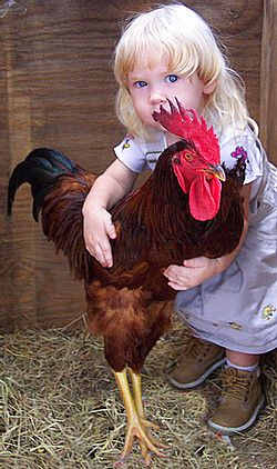 The Rooster is almost big as the little girl !