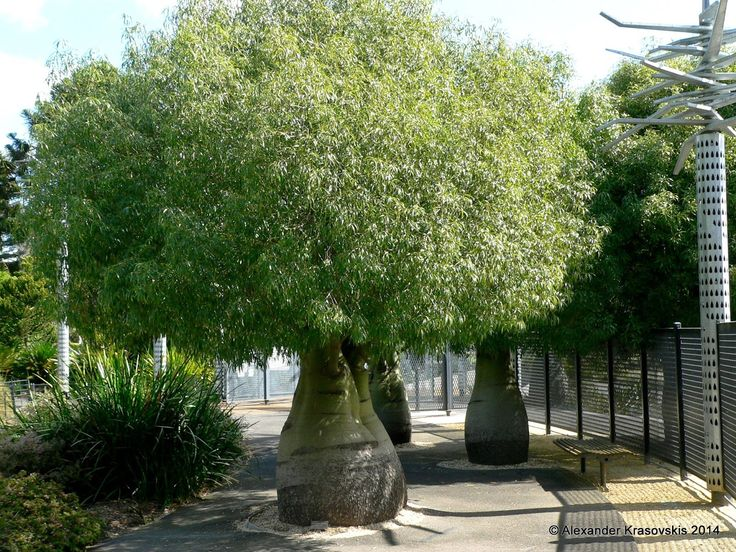 The swollen bellies of these trees are a dead give-away that they are boab trees aka Queensland bottle trees. ~ Aggregata Plants & Gardens: Visit to the Geelong Botanic Gardens in spring 2014