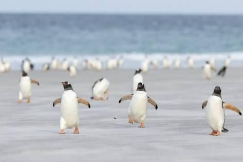 Gentoo Penguin Walking to their Rookery, Falkland Islands Reproduction photographique