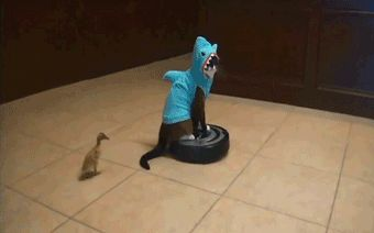 24 Cats Who Are Celebrating Shark Week - animated GIF, cat riding Roomba dressed in shark costume. With a baby duck walking around.