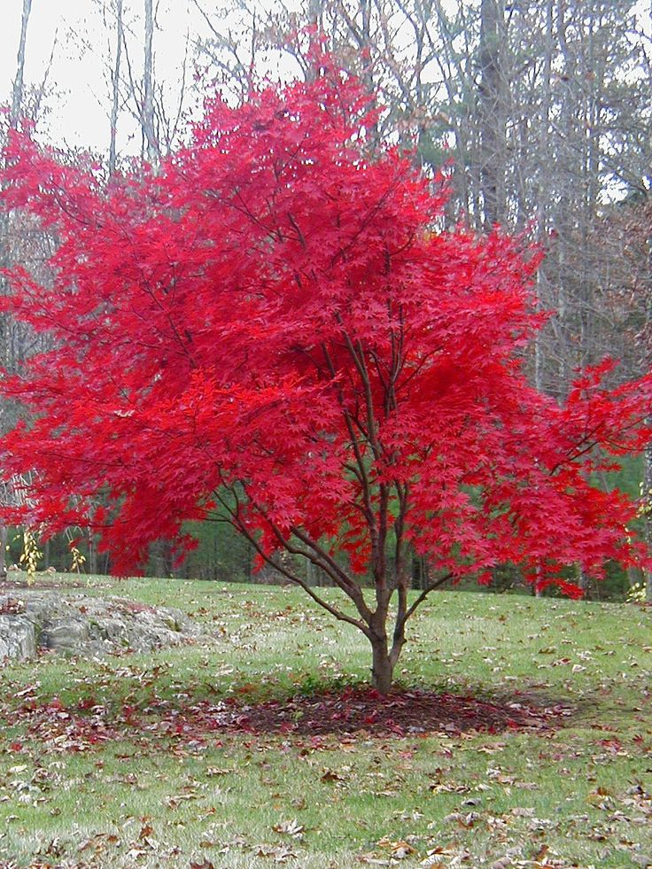 Japanese Red Maple Tree | This orange leaf tree (don't know the name of it), was far away in ...