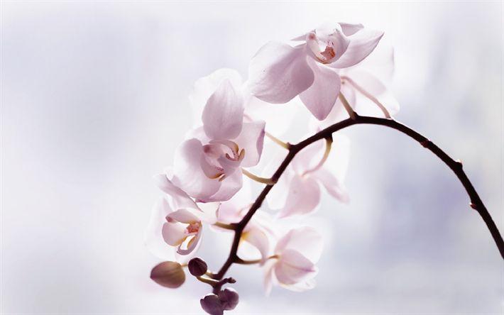 Hämta bilder orkidéer, ljus rosa orkidé, tropiska blommor, orchid gren, rosa blommor