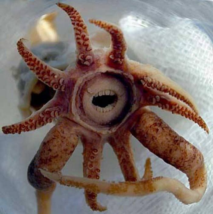 """Squid species 'Promachoteuthis sulcus' seems to possess teeth, which are actually """"lips"""" that protect the animal's beak (jaws). Only a small specimen of this species was found in the South Atlantic, at a depth of around 6,600 ft, and there are not much information about this animal.    Photo: Richard E. Young"""