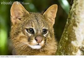 felinos en peligro de extincion - Buscar con Google