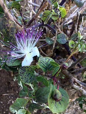 """Il Cappero (Capparis Spinosa, arbusto sempreverde), re dei muri scoscesi e delle zone impervie è protagonista della macchia mediterranea delle Isole Eolie. Della pianta si consumano i boccioli, detti capperi e i frutti, noti come cucunci. Entrambi si conservano sott'olio, sotto aceto o sotto sale. Nelle Isole Eolie vi sono due varietà di piante di cappero, la """"nocella"""" e la """"nocellara"""", i cui frutti da tempo immemore vengono messi sotto sale per conferire loro un gusto particolare. La…"""