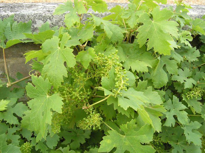 Tafeltrauben Aus Eigenem Anbau Weinrebe Garten Bepflanzen Weinreben Pflanzen