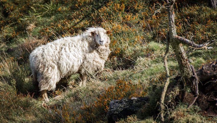 Ludzie są ostatnim ogniwem łańcucha troficznego. Jest ssakiem mieso- i roślinożernym. Natomiast owce stanowią nie wyłącznie źródło niezwykle drogocennego pożywienia, ale co więcje wełny czy skóry. Ich hodowanie jest droższe niż drobiu, wieprzowiny czy wołowiny, jednakże daje całą masę dobrodziejstw. Jak wynika z najnowszych analiz, to właśnie owce zostały oswojone dzięki człowiekowi przed innymi zwierzętami.