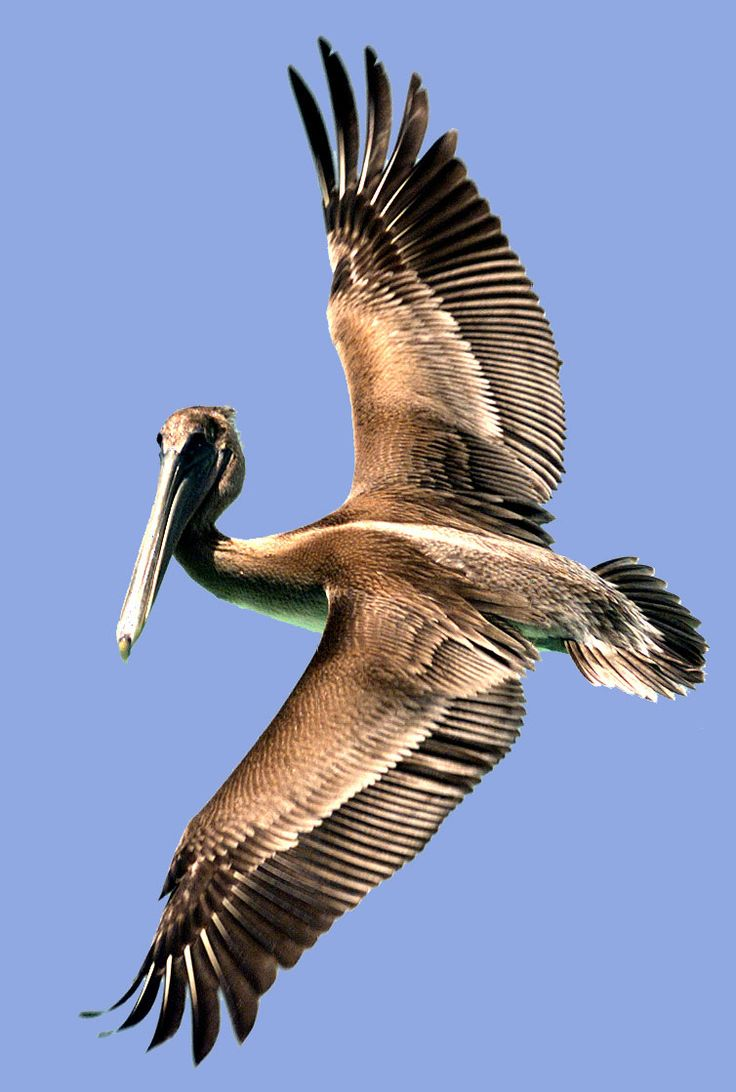 pelican flying - Google Search