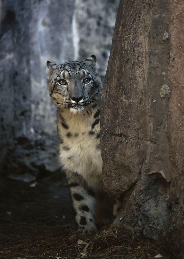 Un leopardo delle nevi al Chapultepec Zoo di Città del Messico (RONALDO SCHEMIDT/AFP/Getty Images)