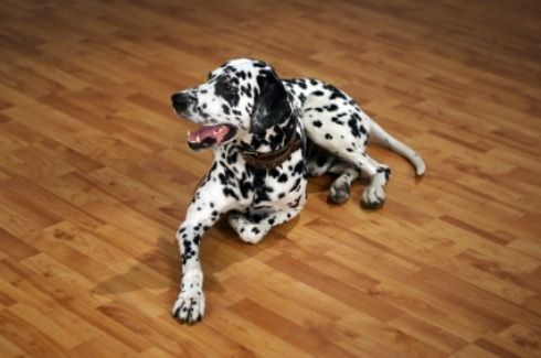 This is a guide about cleaning pet urine stains and odors from laminate flooring. Because of its composition, removing pet urine stains and odors from laminate flooring may seem daunting.