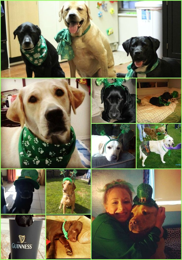 St. Patrick's Day Lab Fan Labradors | It's a Lab Thing