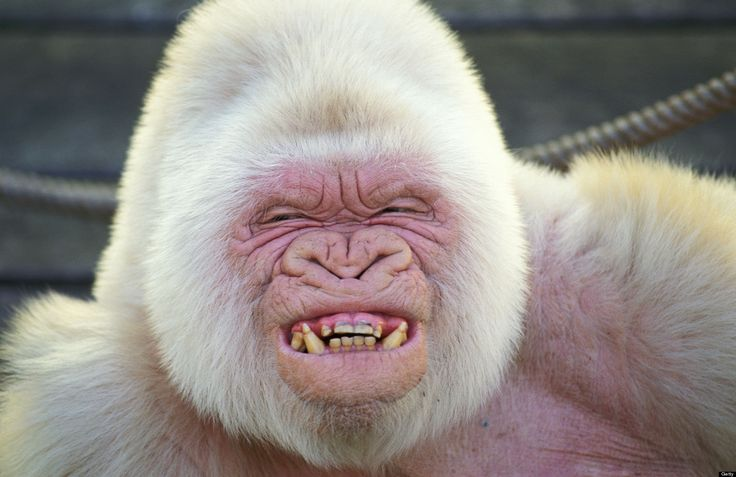 A famous albino gorilla that lived for 40 years at the Barcelona Zoo got its white coloring by way of inbreeding, new research shows.