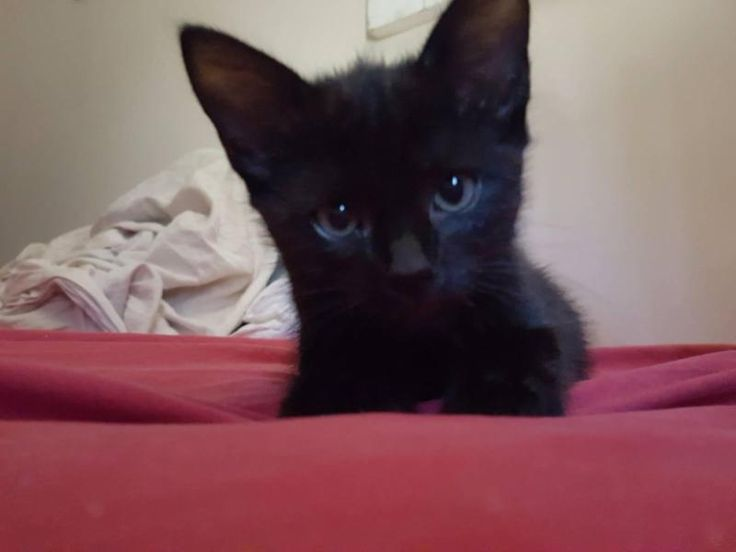 https://www.gumtree.com.au/s-ad/capalaba/cats-kittens/black-tailless-manx-kitten-for-sale/1144807084