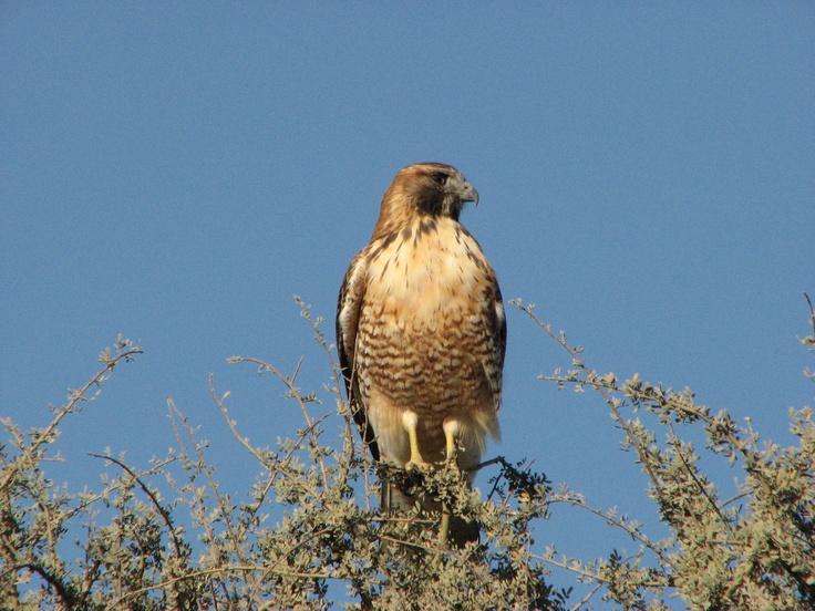 Águila de la estepa, observando el horizante.