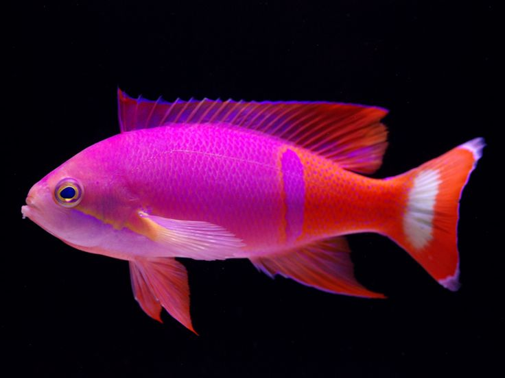 42 best anthias images on pinterest for Colorful freshwater fish
