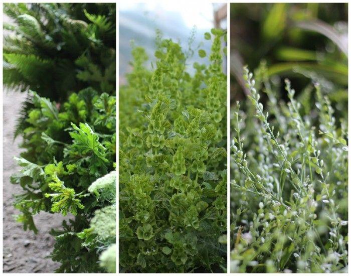 scented geraniums bells of ireland cress/lepidium sativum love the look of  these types of
