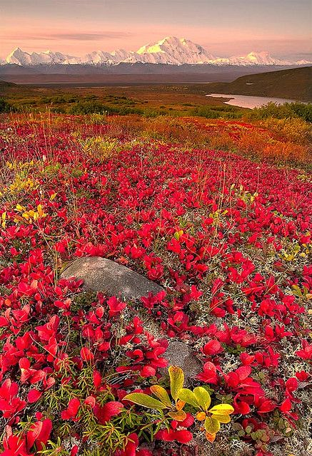 """Fall Season In Alaska,"" Denali National Park, Alaska....Travel like the ""Rich and Famous"" But on a Poor Man's Budget! Get Up to 80% off Worldwide Travel with TLN Destinations!  http://GoldfeatherOnline.com"