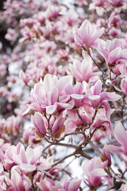 Magnolia. Would have to be my favourite flowering tree. When it is in bloom, it is just stunningly beautiful! when it's green, however, it very ordinary.