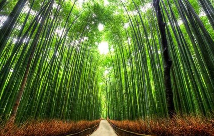 New Goal: Tree Tunnels (Bamboo Path in Kyoto Japan)
