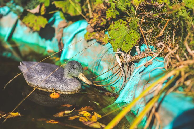 #dirty #duck #leaves #old #plastic #pond #water