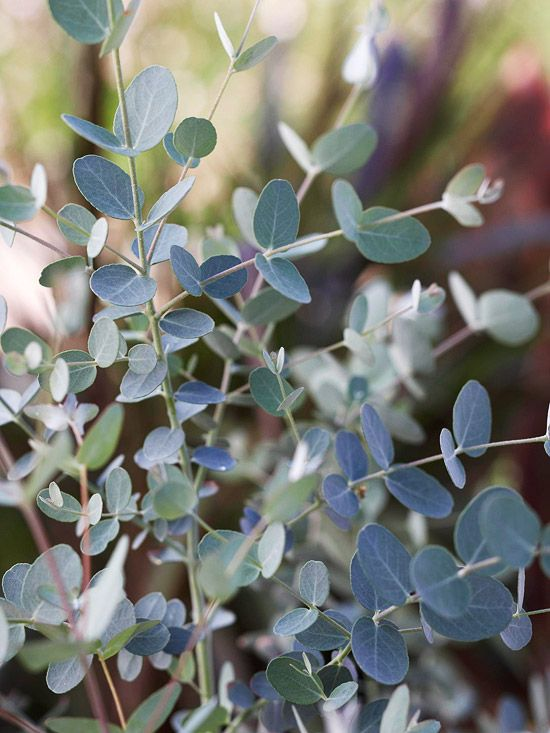 EucalyptusCold Draft, House Plants, Fragrant Houseplants, Garden Tips, Bright Spots, Eucalyptus Cinerea, Easy Growing, Tops Fragrant, Distinctive Aroma