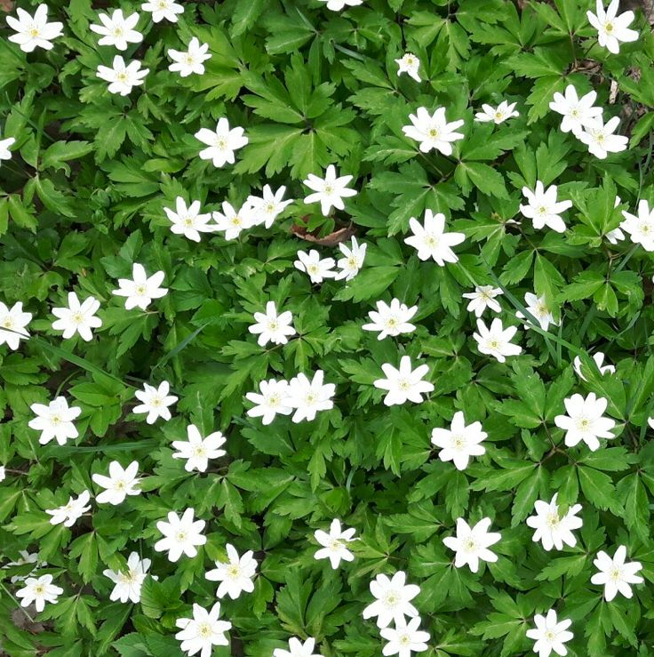 Vitsipporna har blommat hela maj månad 😍
