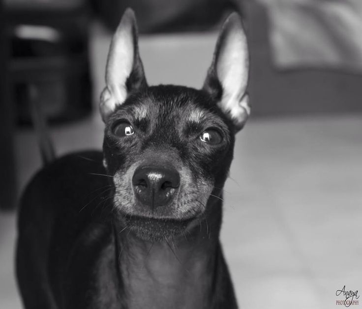 Youkie #EnglishToyTerrier #Dog #AnayaPhotography