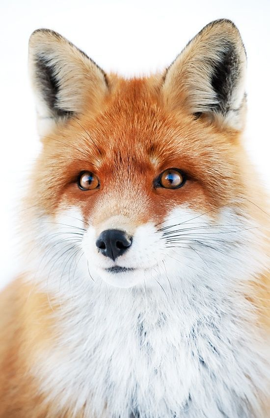 Foxy Look by Sorin Rechitan on 500px