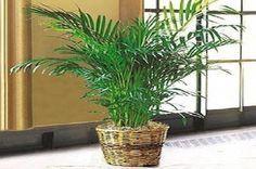Guide: Come #coltivare una #pianta antibatterica come l'Areca (link: http://ift.tt/2a3RfEh )