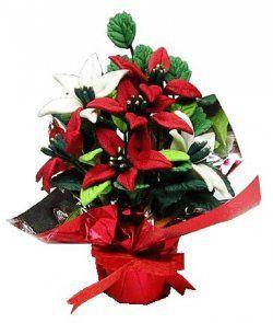 Poinsettia Plant in foil