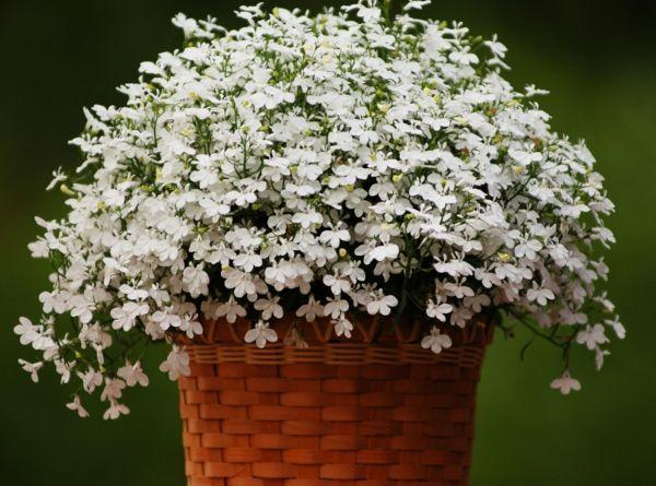 Pflegeleichte Balkonpflanzen Lobelien Weiß Schöner Blumentopf ... Hubsche Balkonpflanzen Pflegeleicht