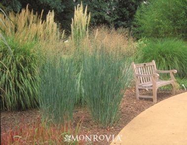 Monrovia's Heavy Metal Blue Switch Grass details and information. Learn more…