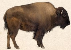 You be the Historian - What can you make from a buffalo and what story does a buffalo hide tell?