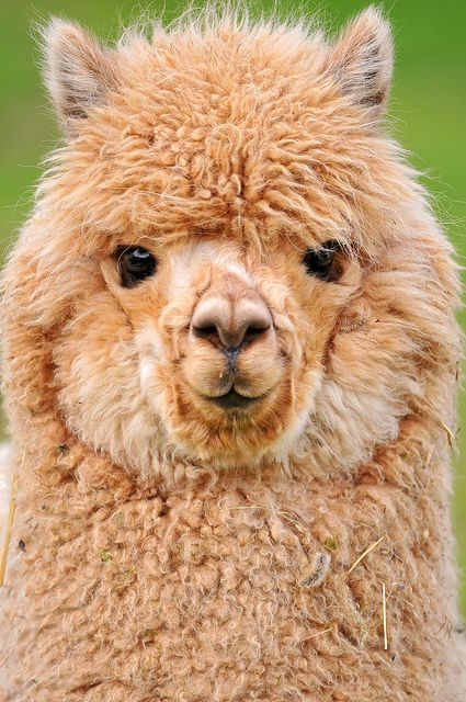 ~~ The cutest young alpaca? by Tambako the Jaguar ~~