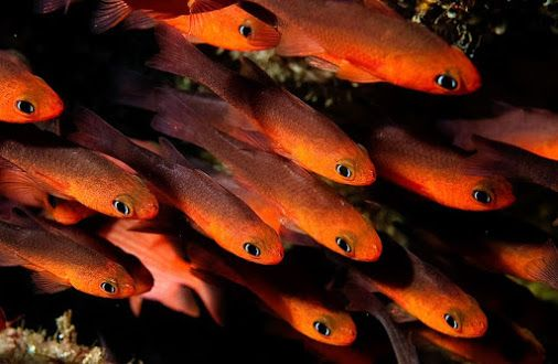 ..fb...#CostaRica# Cardinal Fish   Cocos Island is renowned for its #BiodiversityCostaRica# which includes upwards of 1,688 marine species (Including 350+ species of bony fish )Do you know what these the comare called ? tell us incommental !!!