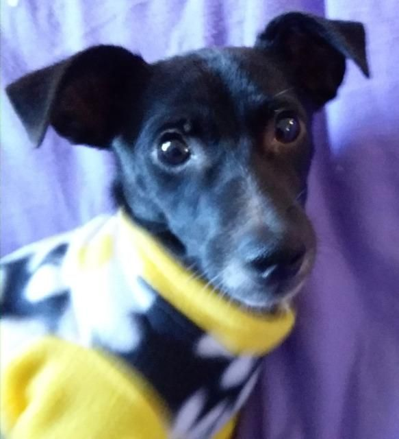 Rat-Cha dog for Adoption in Battle Ground, WA. ADN-781422 on PuppyFinder.com Gender: Female. Age: Young
