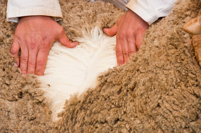 Sheep Judging - 2012