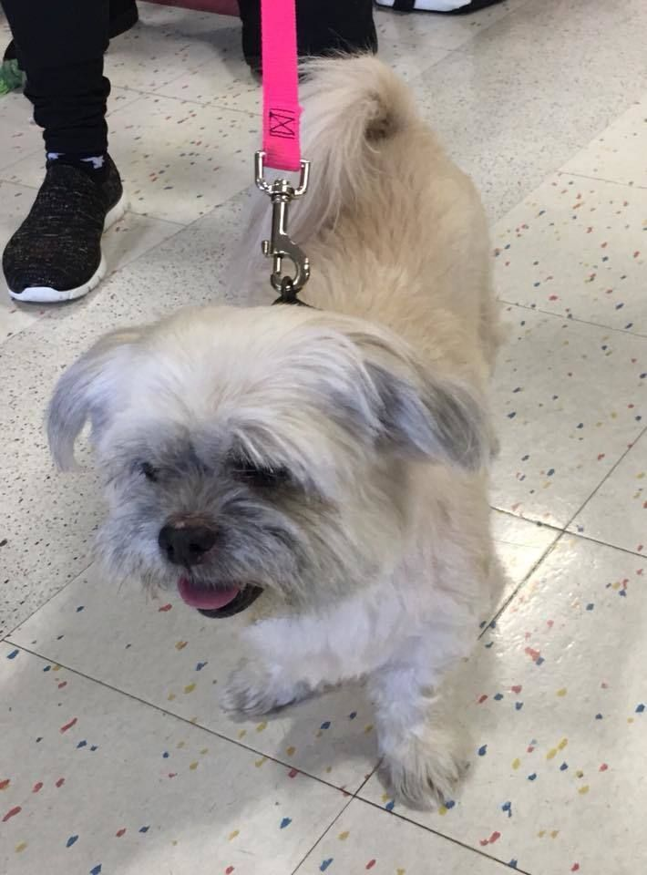 Adopt Candy On Petfinder Animal Welfare Quote Shih Tzu Funny Animals