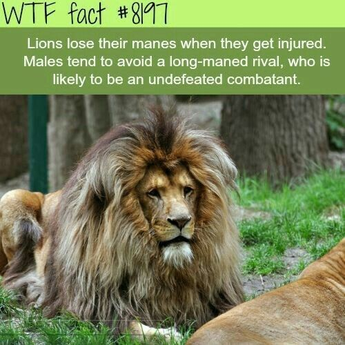 15 Insane Lion Facts That Will Blow Your Mind | Interesting