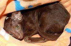 купить кошку породы ориентальная: 4 тыс изображений найдено в Яндекс.Картинках