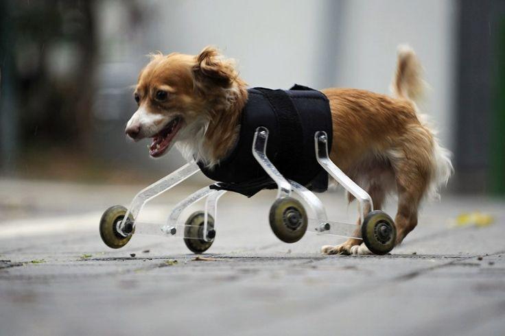 Emocionante reacción de un perro discapacitado que vuelve a andar