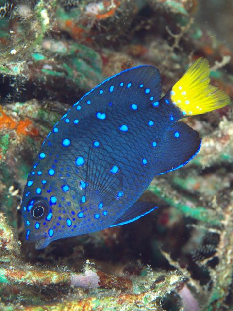 Damselfish: Another one of my top five favorite colored fish that I found while mainly snorkeling