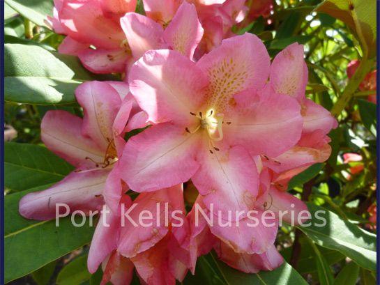 Rhododendron 'Milton'