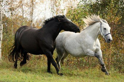 Are Fat Horses More Dominant Than Lean Ones?