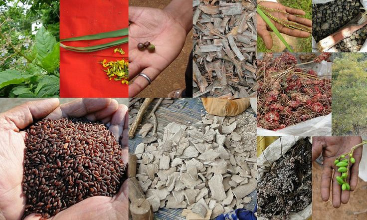 Medicinal Rice based Tribal Medicines for Diabetes Complications and Metabolic Disorders (TH Group-616) from Pankaj Oudhia's Medicinal Plant Database